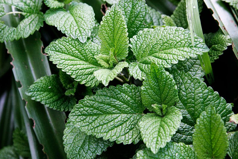 Menta – analgezic natural