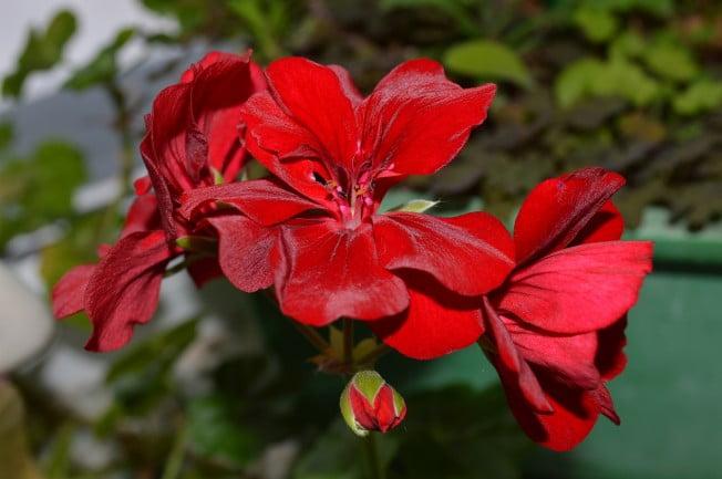Mușcata roșie, floare de leac miraculoasa