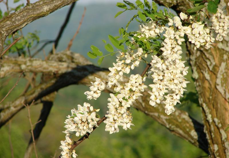 Florile de salcam, o adevarata binecuvantare pentru sanatate. Uite ce minuni pot face pentru sanatate
