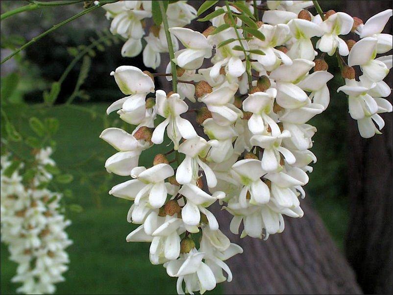 """Florile de salcam, o adevarata binecuvantare pentru sanatate. Uite ce minuni poate face acest """"medicament"""" al naturii"""