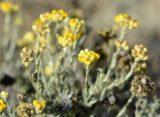 Planta romaneasca minune ce vindeca ficatul si rinichii