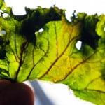 Plantele care elimină NICOTINA din organism