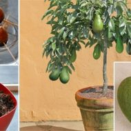 Nu mai cumparati AVOCADO.  Invatati cum sa va plantati si sa cultivati propriul arbore de avocado cu fructe sanatoase