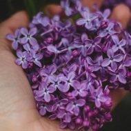 Leacul extraordinar din florile de liliac. Dincolo de frumusete e multa SANATATE