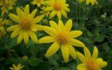 Cât rău va pot face unele plante medicinale. Cui ii sunt interzise arnica şi echinacea, excelente antibiotice naturale