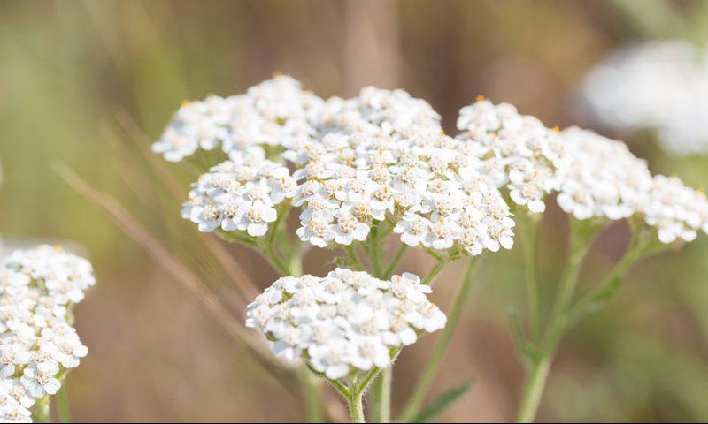 coada-rocicelului-achillea-millefolium