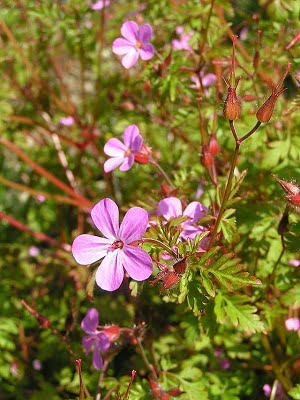 Flori de Napraznic - Herb Robert