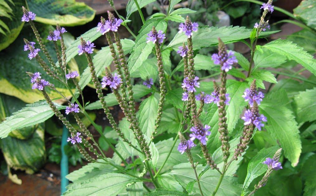 Verbina- Verbena officinalis