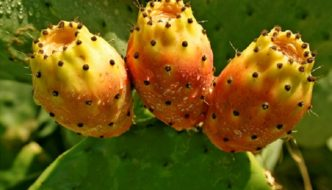 Cactusul NOPAL, comoara desertului, remediu magic pentru cateva afectiuni grave