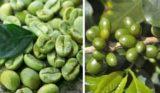 Cafeaua Verde – Mituri, adevaruri si cateva proprietati surprinzatoare