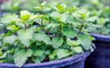 Topul plantelor care tratează afecţiunile digestive