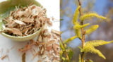 Plantele medicinale ale lunii martie – ciubotica-cucului si salcia